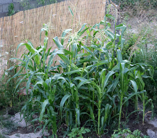 Corn growing well, here's to us BBQing some with the parents