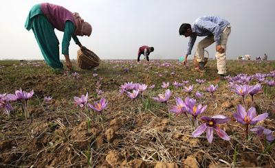 Beautiful Saffron Flower Hd Wallpapers Free Downloads