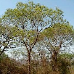 Visco Acacia visco