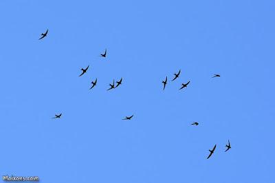 Falciot negre (Apus apus)