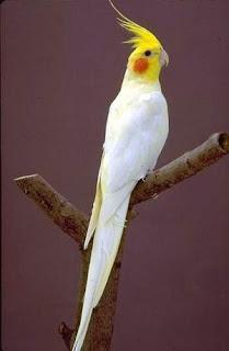 burung parkit australia