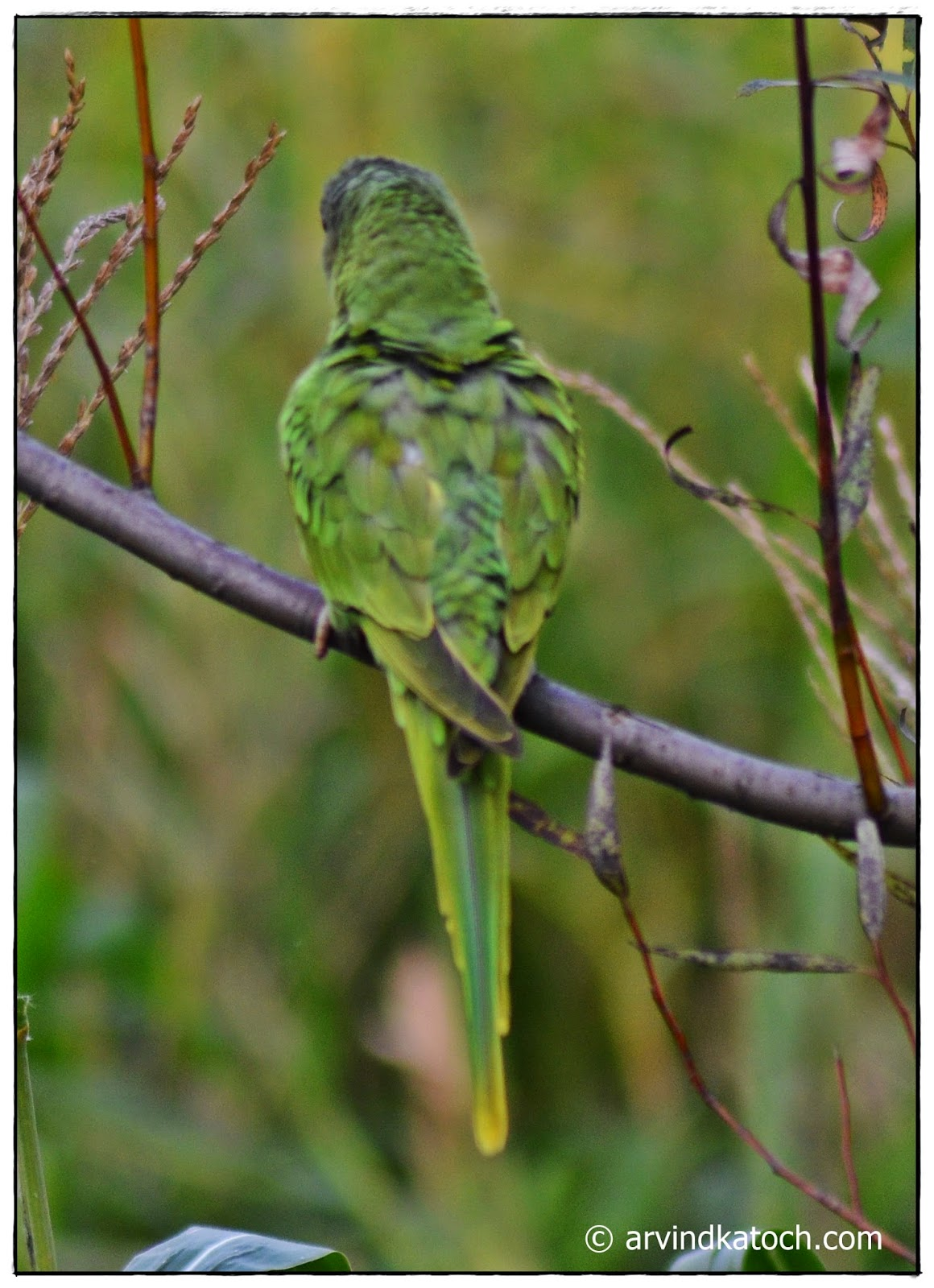 Himalayan, Parrot, Backview, Green parrot,
