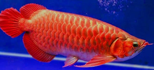 Dunia Ikan Hias - IKAN ARWANA