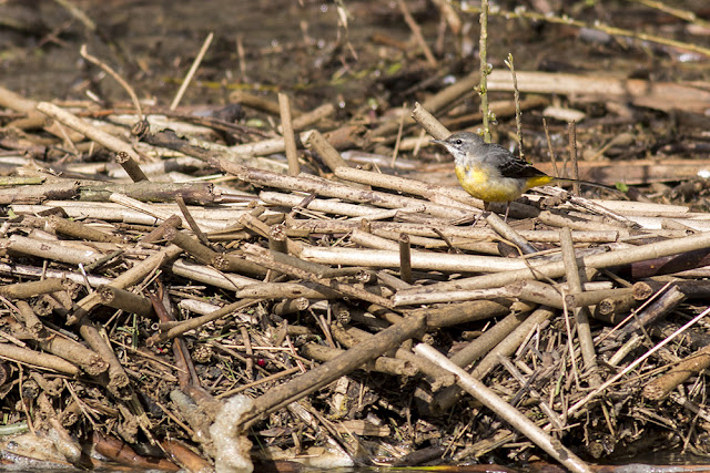Another shot of the Grey Wagtail