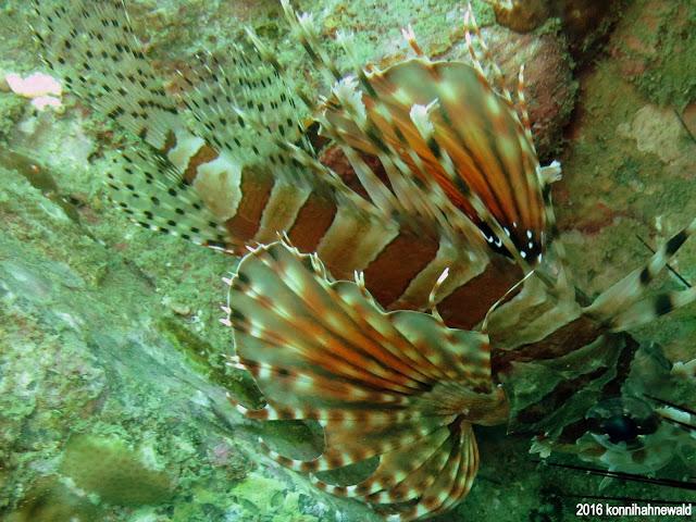 Lionfish, tropical waters, andaman sea, excellent underwater picture, thailand, koh lipe, scuba diving,