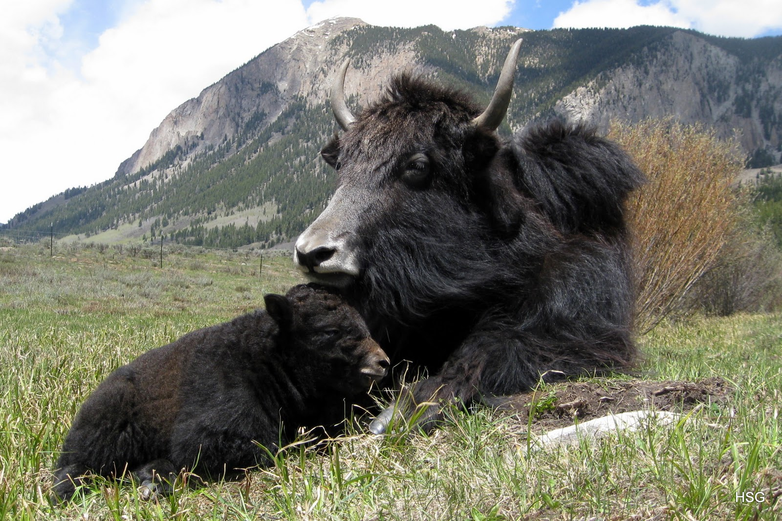 Image Of A Yak: The Life Of Animals