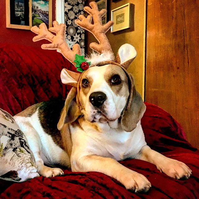 Holly Bobbins wearing antlers, Beagle, dog, Mandy Charlton, Photographer, writer, blogger, 2016 a reflective post