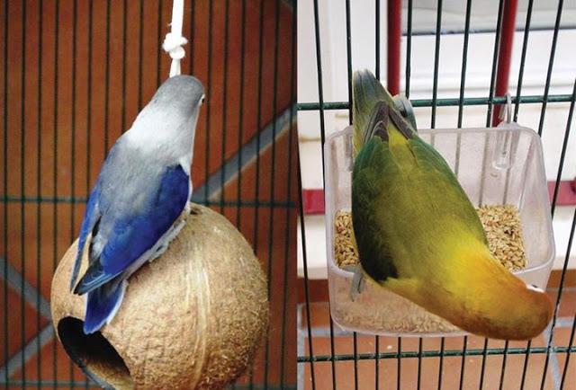 mengenal Lovebird euwing