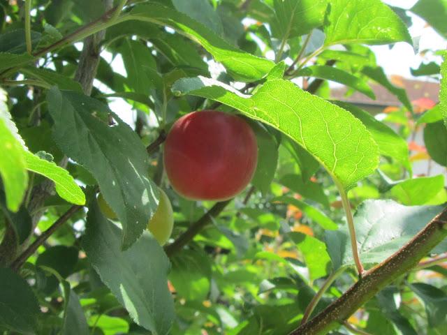 Frutti Susincocco