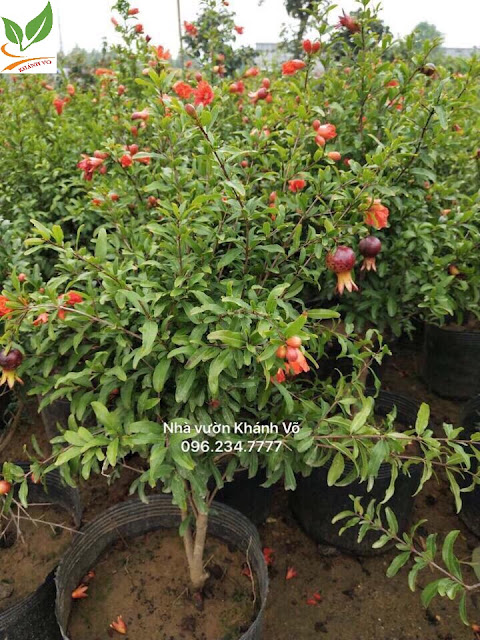 Chọn cây cảnh ngày tết thế nào cho may mắn cả năm Luu-do-khanh-vo