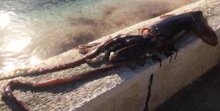 Το κράκεν έπιασε Κεφαλονιά: Ψαράς έβγαλε θράψαλο με μήκος σχεδόν δύο μέτρα και βάρος δέκα κιλά