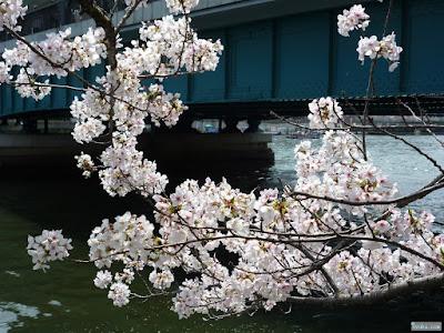 桜と天満橋