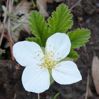 Plaquebière - Rubus chamaemorus - Chicoutai - Chicouté