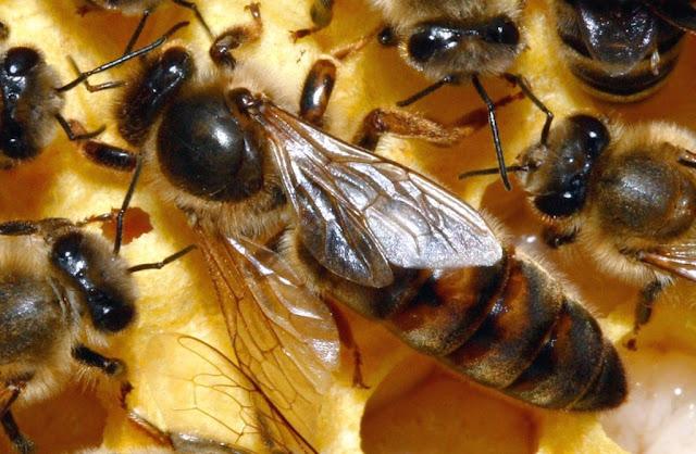 ملكة-النحل