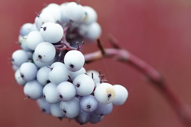 Berries cropped -  Sheffield Park - Sony 24mm review - Ashley Laurence