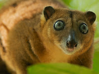 Cuscus Animal Pictures