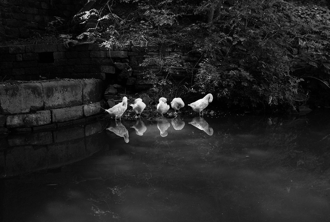 Resting Geese, Hebden Bridge, UK