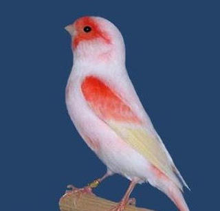 dunia burung Ciri Ciri Burung Kenari yang Handal