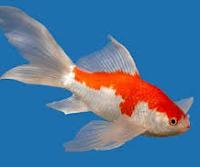 jenis ikan koki Comet goldfish perenang yang cepat
