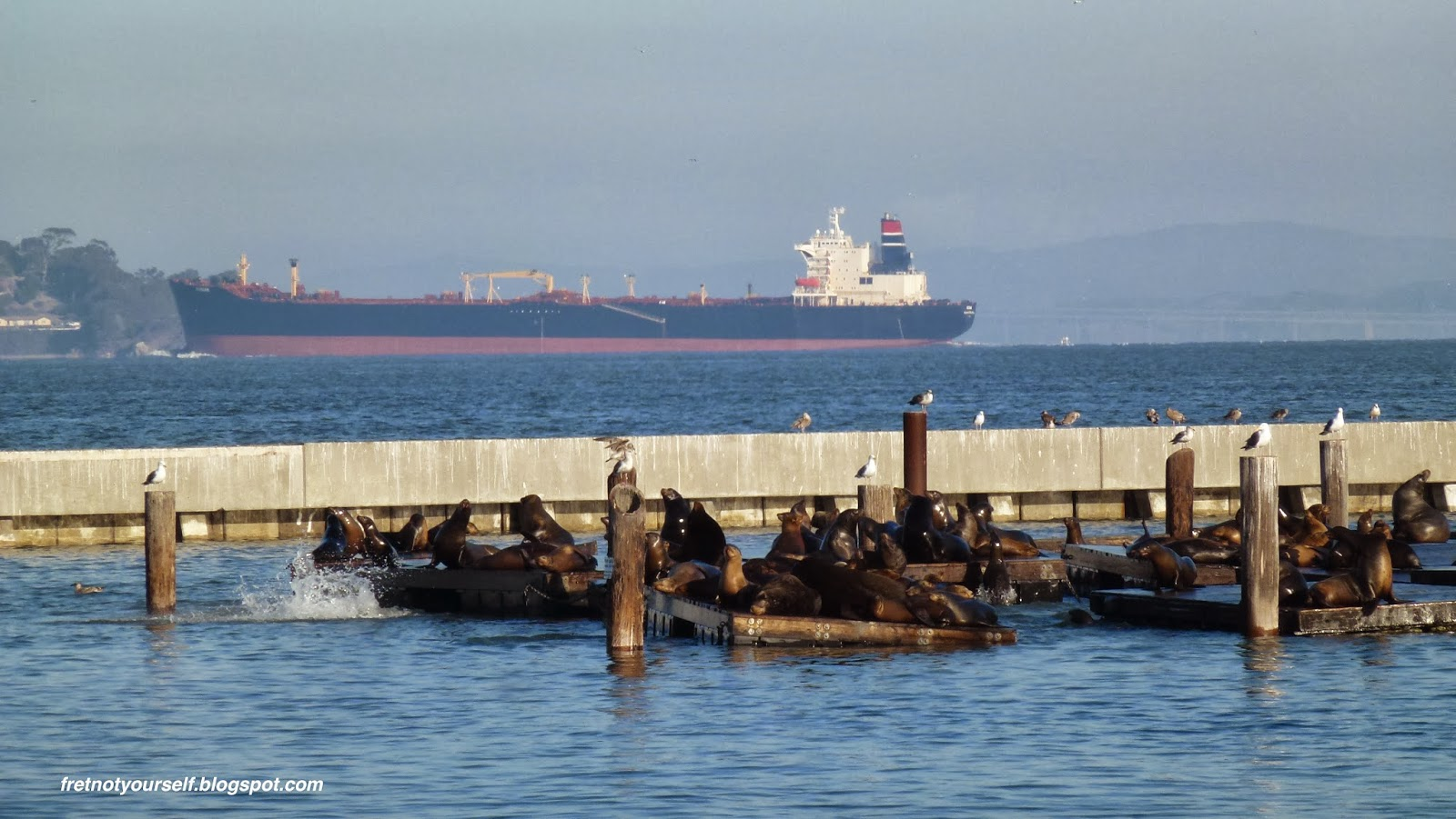 Dark brown harbor seals rest on wooden pontoons while white and grey seagulls perch on the pilings as a large black and red cargo ship sails into San Francisco Bay