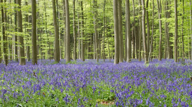 Hallerbos, el bosque azul de Bélgica