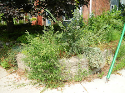 Weeding a Riverdale Corner Garden and Driveway: Better Late Than Never