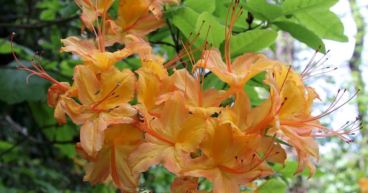 The Buckeye Botanist Flame Azalea Rhododendron