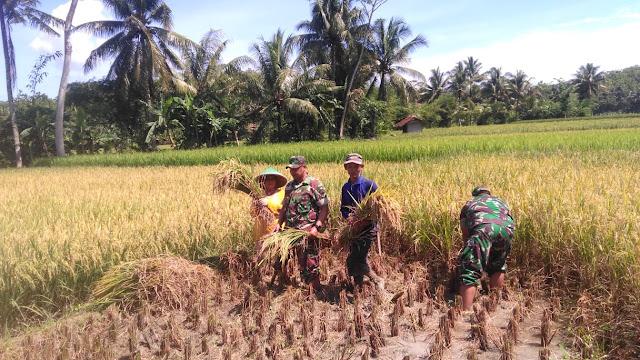 Babinsa Koramil 15 Karangpucung Terus Dampingi Panen Padi Petani di Wilayahnya
