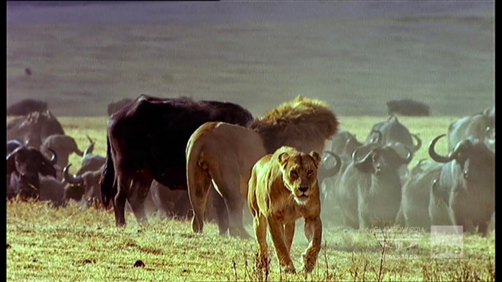 But The Herd Successfully Drove The Lions Away