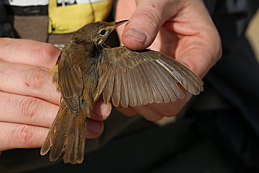 Blyth's reed warbler, photo by Jem Babbington