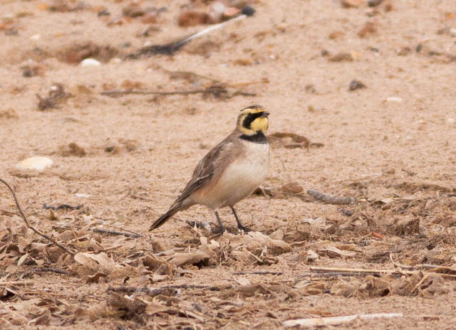 Shore Lark, Thornham Harbour