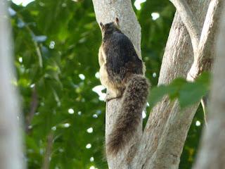 Écureuil multicolore - Sciurus variegatoides