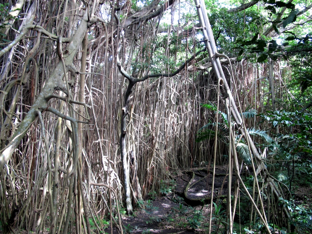 Old writer on the block: Sitting beneath a banyan