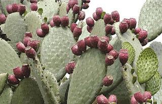 Φραγκόσυκο: Μια Εύκολη Καλλιέργεια με Κέρδη Έως.....