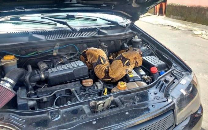 Cobra jiboia de três metros é encontrada em motor de carro, em Manaus