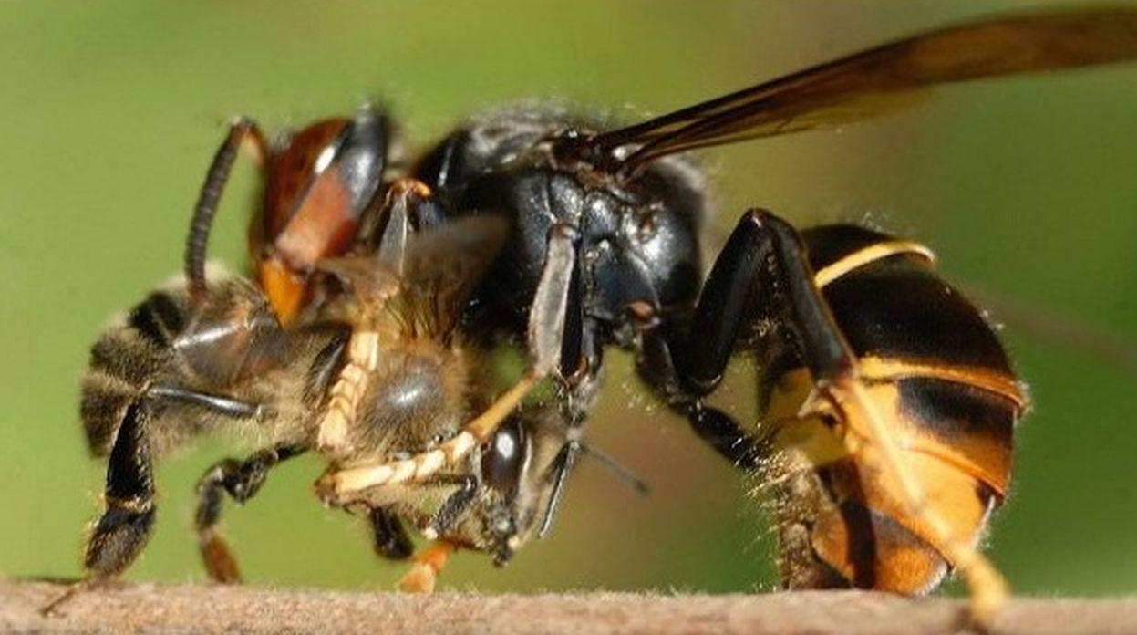 les abeilles de l 39 eyre frelon asiatique. Black Bedroom Furniture Sets. Home Design Ideas