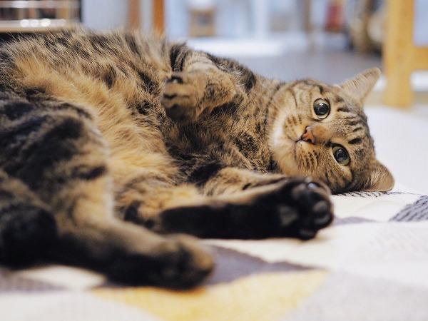 ごろんと寝っ転がっているキジトラ猫