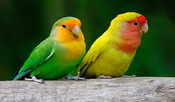 melatih lovebird makan sayur
