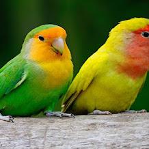 Cara Mengatasi Lovebird Yang Tidak Mau Makan Buah Dan Sayur