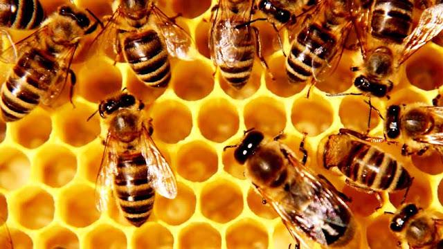 Filosofi Lebah Madu, Tak Ada Jiwa Perusak dan Mempunyai Tanggung Jawab Tinggi