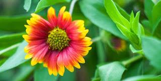 Gambar Bunga Aster Cantik 2