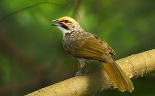 Foto dan suara burung cucak rowo super ropel asli hutan