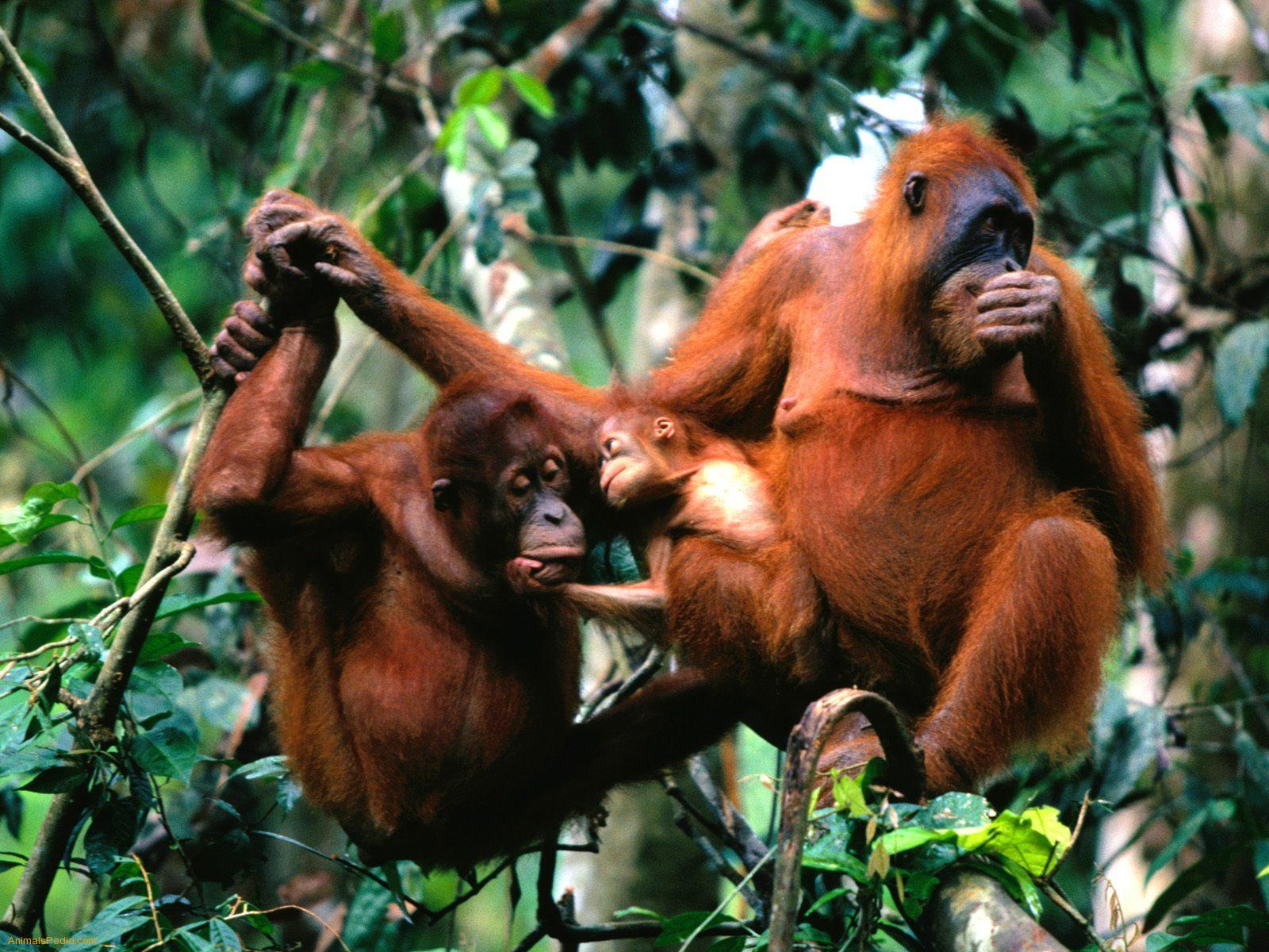 Orangutans Pets Cute And Docile