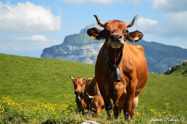 Vache tarine dans le Parc Naturel Régional de Chartreuse