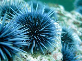 Ciri-ciri Filum Echinodermata dan peranannya dalam kehidupan