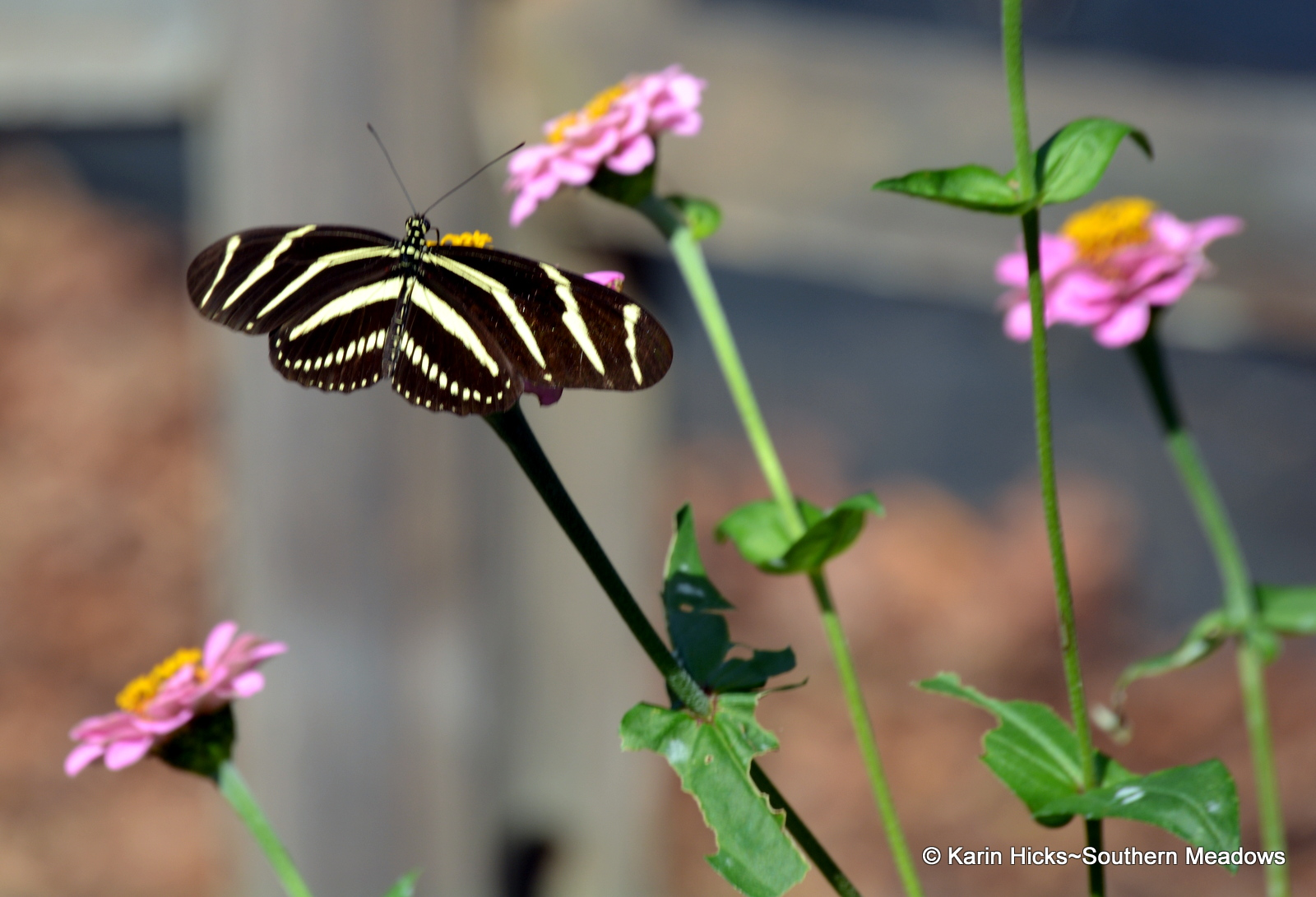 These Unmistakable Butterflies ...