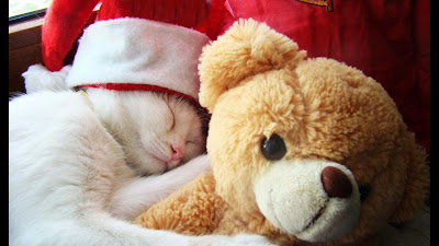 white-cat-sleeping-huggying-with-teddybear