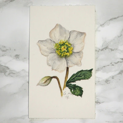 Christmas rose watercolour sketch