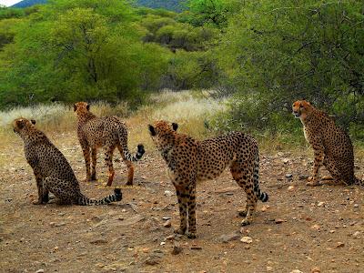 Gepard, cheetah, guépard, gepardo, gepardi, guépard, chita, γατόπαρδος, blettatígur, ghepardo, チーター, сілеусін, guepard, haramcad, guepardo, çita, chita , beo ở phi châu