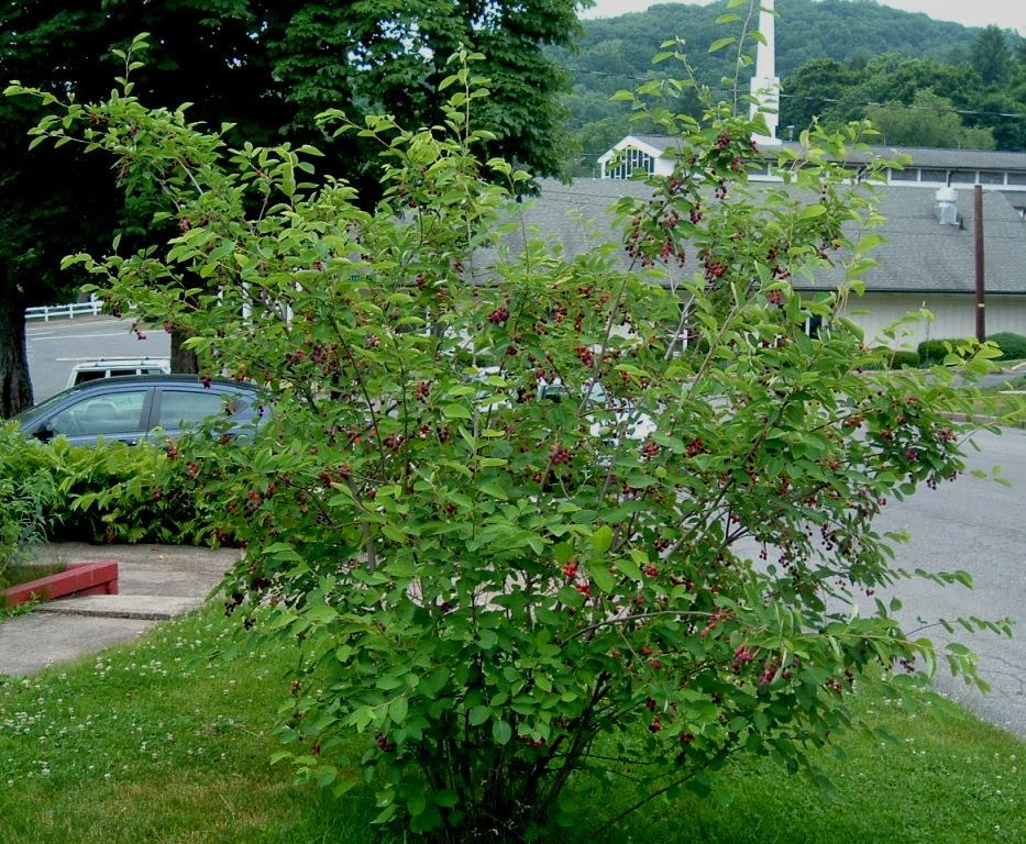 Serviceberry with ripening berries in late May